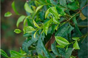 Teeblätter – für feinen weißen Tee aus Sri Lanka